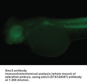Anti-SMC3 Rabbit Polyclonal Antibody
