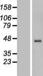 HTR3E Lysate (Adult Normal), Novus Biologicals (NBP2-04841)