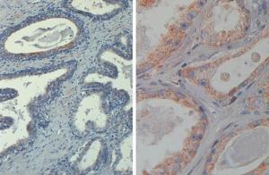 Goat Anti-Human;Mouse;Rat;Monkey AKT Polyclonal Antibody (Biotin)