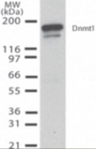 Western Blot analysis of DNMT1 inmouse ES cell (10 ug) using DNMT1 monoclonal antibody (2u/ml).