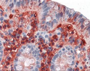 Immunohistochemistry staining of Immunoglobulin A in colon tissue using Immunoglobulin A monoclonal Antibody.