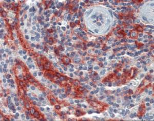 Immunohistochemistry of human speen tissue stained using HLA-E Monoclonal Antibody.