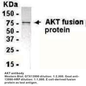 Anti-AKT Chicken Polyclonal Antibody