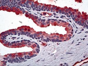 Anti-TIMP2 Mouse Monoclonal Antibody