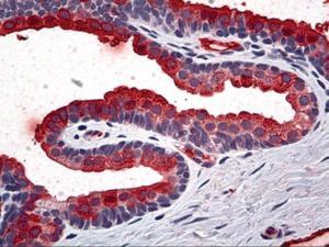 Immunohistochemistry of human prostate tissue stained using TIMP2 Monoclonal Antibody.
