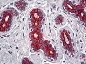 Immunohistochemistry of human breast tissue stained using KRT7 Monoclonal Antibody.
