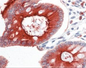 Human colon tissue stained with CEACAM1 Antibody at 10 ug/mL followed by biotinylated secondary antibody, alkaline phosphatase-streptavidin and chromogen.