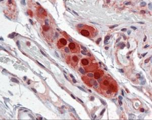 Immunohistochemistry of human small intestine, Submucosal Plexus stained using ELAVL Monoclonal Antibody.