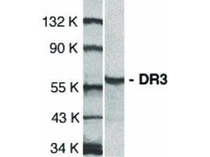 Western Blot of DR3 Antibody