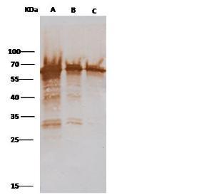 Anti-M13 Rabbit Polyclonal Antibody