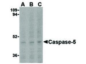 Western Blot of Caspase-5 Antibody