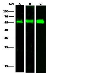 Anti-LAMP2 Rabbit Polyclonal Antibody