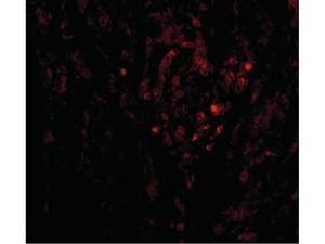 Western Blot of CIKS Antibody