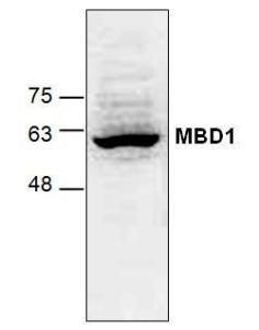 Western blot analysis of MBD1 using Jurkat cell lysate.