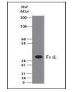 Western blot Analysis of FasL expression in 293 Cell Lysate.