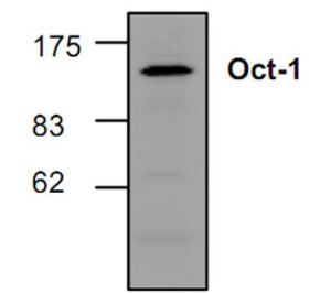 Western blot analysis of Oct-1 in Jurkat cell lysate.