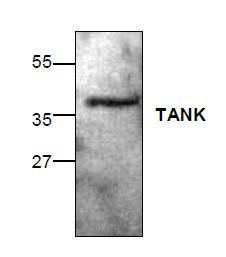 Western blot analysis of TANK with mouse small intestine tissue lysate.