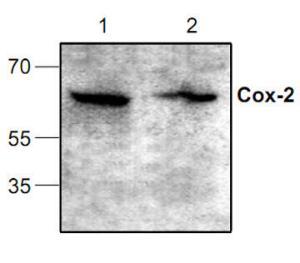 Western blot analysisof Cox-2 expression inJurkat cell lysates.