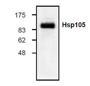 Western blot analysis ofHsp105 expression inHeLa cell lysate.