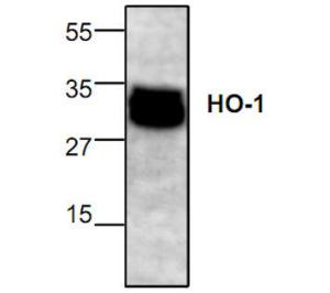 Western blot analysis of HO-1expression in Jurkat cell lysate.