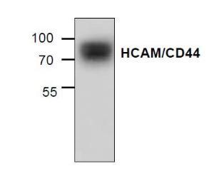 Western blot analysis ofHCAM/CD44 using mousesmall intestine tissuelysate.