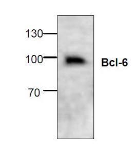 Western blotanalysis of Bcl-6 inJurkat cell lysate.