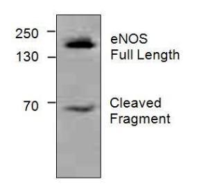 Western blot analysis ofeNOS in Jurkat cell lysate.
