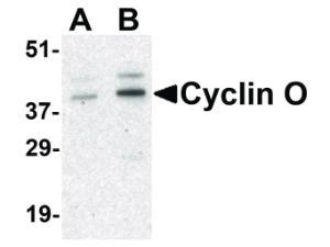 Western Blot of Cyclin O Antibody