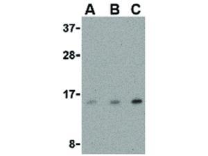 Western Blot of DARC Antibody