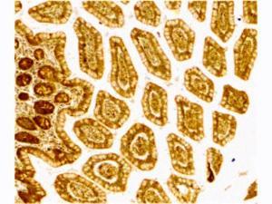 Western Blot of DC-SIGN Antibody