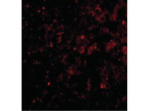 Immunofluorescence of DRAM Antibody