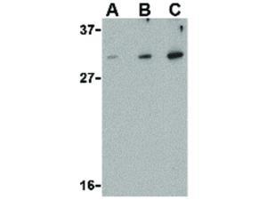 Western Blot of DRAM Antibody
