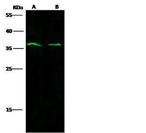 Anti-IL-1B Rabbit Polyclonal Antibody
