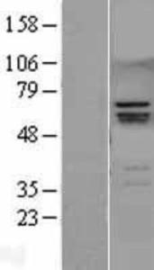 Anti-SMC4 Rabbit Polyclonal Antibody