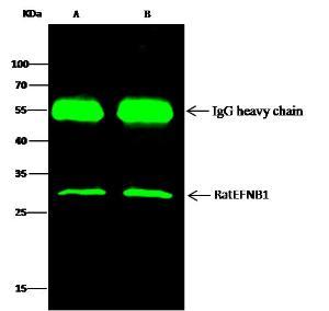 Anti-EPHB1 Rabbit Polyclonal Antibody