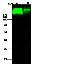 Anti-NCAM Rabbit Polyclonal Antibody