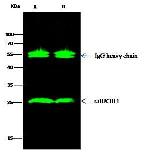 Anti-UCHL1 Rabbit Monoclonal Antibody [clone: 012]