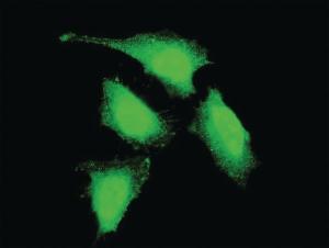 Anti-PRDM4 Mouse Monoclonal Antibody [clone: 2C11]