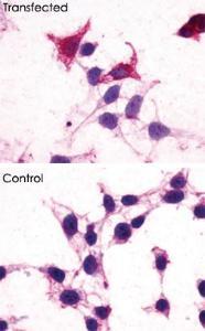 Anti-GPR182 Rabbit Polyclonal Antibody