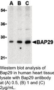 Anti-BAP29 Rabbit Polyclonal Antibody