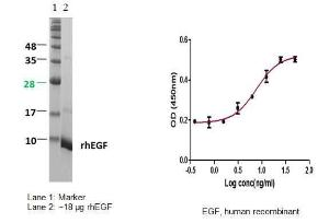 Epidermal Growth Factor (EGF), human recombinant, BioVision