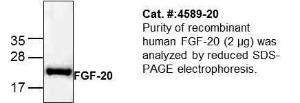 Purity of recombinant human FGF-20 (2 μg) was analyzed by reduced SDS-PAGE electrophoresis.