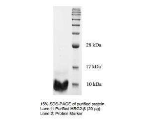 15% SDS-PAGE of purified protein Lane 1: Purified HRG2-β (20 Bg) Lane 2: Protein Marker
