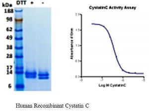 Human CellExp™ Cystatin C, Human Recombinant, BioVision