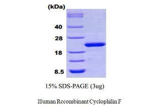 Human Recombinant Cyclophilin F, BioVision