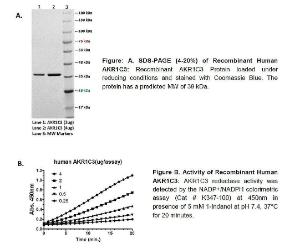 Fig: A.Figure: A. SDS-PAGE (4-20%) of Recombinant Human AKR1C3. Figure B. Activity of Recombinant Human AKR1C3