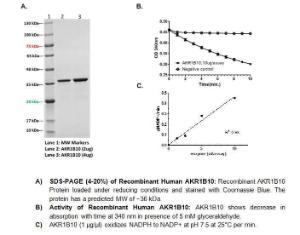 A) SDS-PAGE (4-20%) of Recombinant Human AKR1B10. B) Activity of Recombinant Human AKR1B10. C) AKR1B10 (1 µg/µl) oxidizes NADPH to NADP+ at pH 7.5 at 25°C per min.