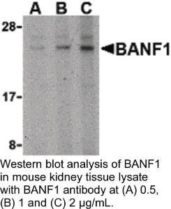 Anti-BANF1 Rabbit Polyclonal Antibody