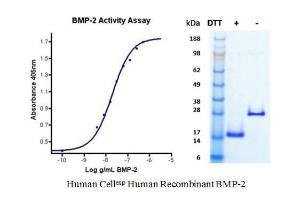 Human CellExp™ BMP-2, Human Recombinant, BioVision