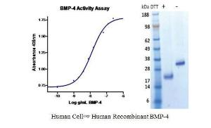 Human CellExp™ BMP-4, Human Recombinant, BioVision